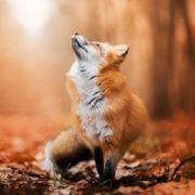 (c) Juina-fox.com.br